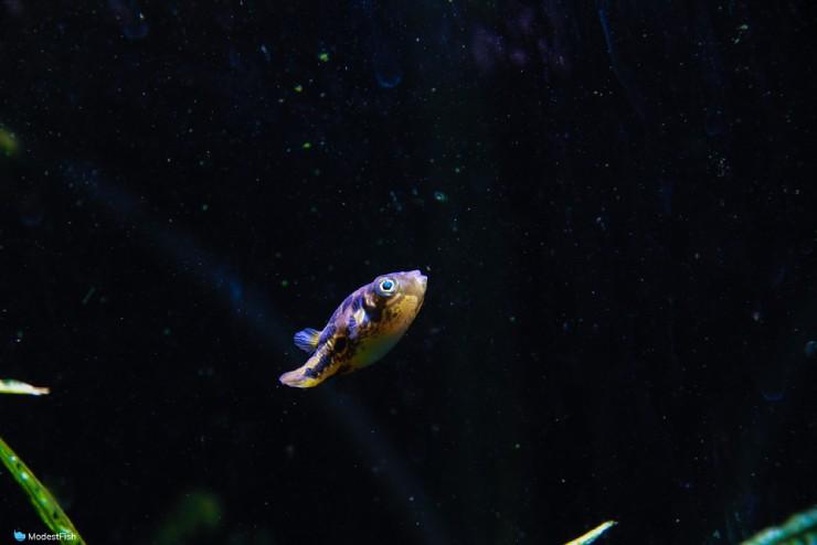 PeaPuffer (Carinotetraodon travancoricus) swimming upwards in planted aquarium