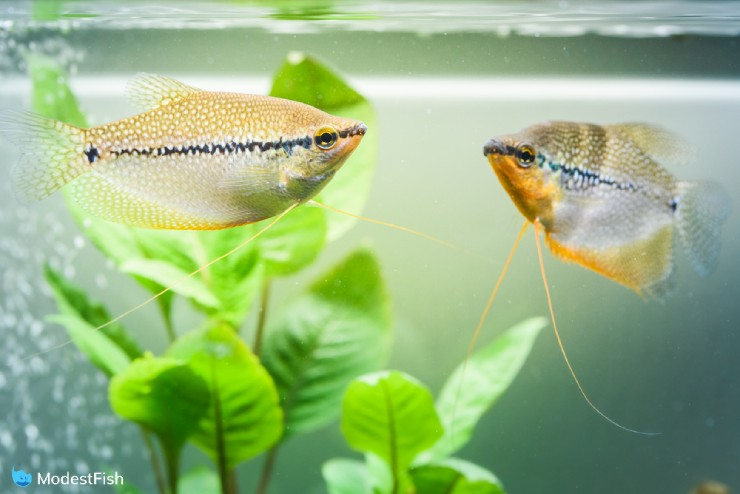Pearl Gourami (Trichopodus leerii) swimming near top of fish tank