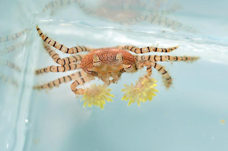 close up of pom pom crab