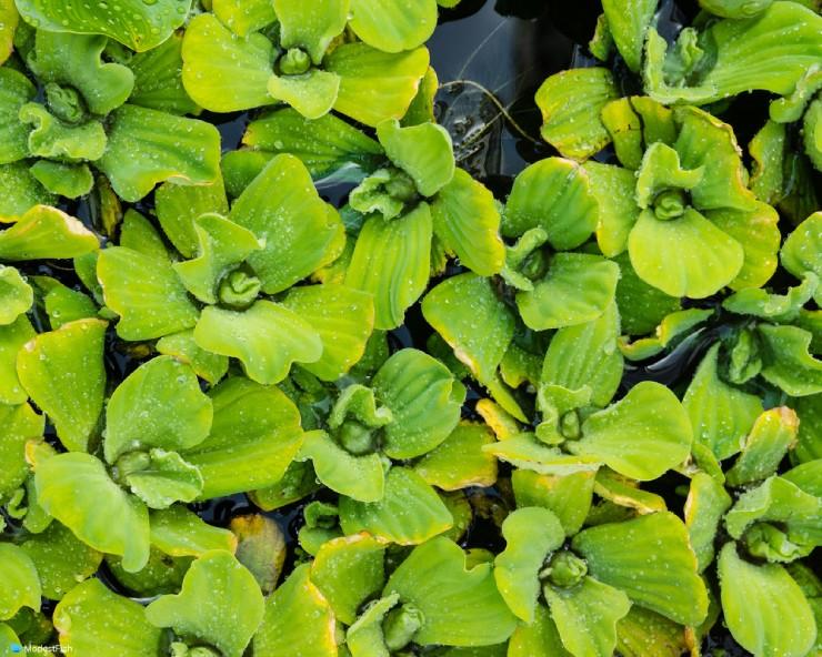 water lettuce (pistia)