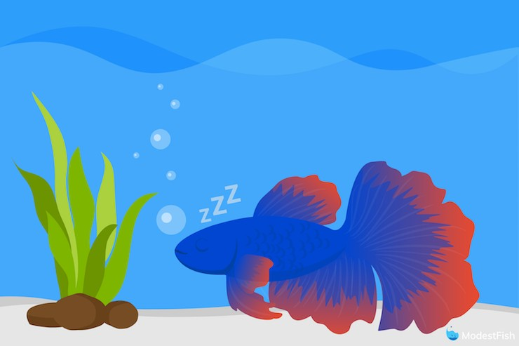 Betta fish laying on bottom of tank