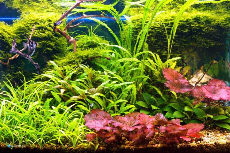 Dwarf aquarium lily in planted angel fish aquarium