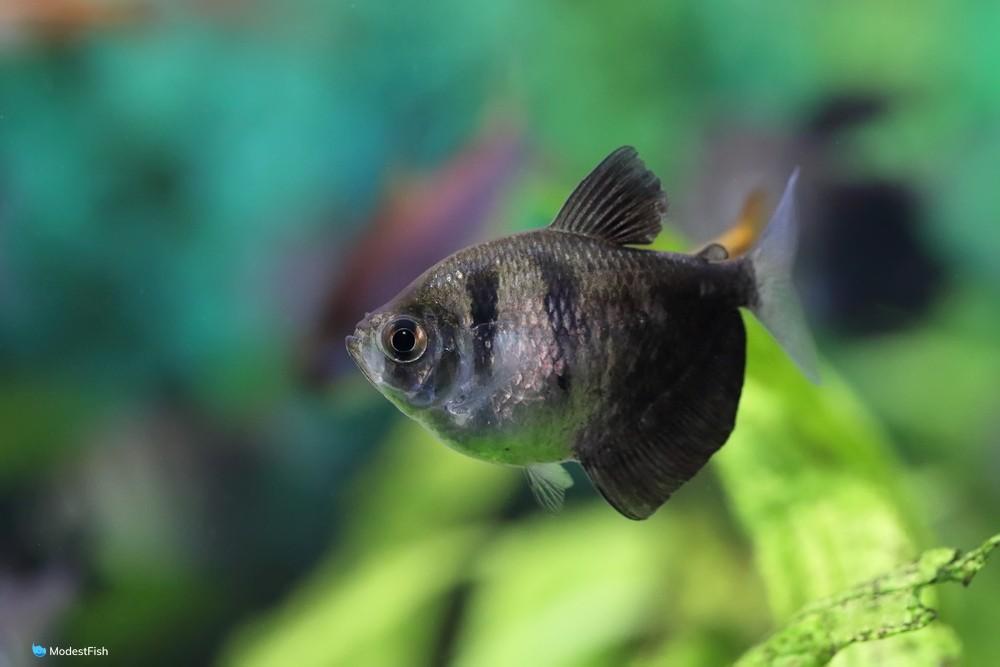 Close up of Black Skirt Tetra (Gymnocorymbus ternetzi) in planted fish tank