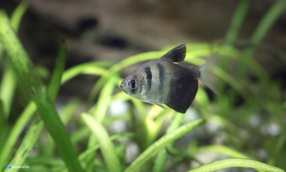 Black Skirt Tetra (Gymnocorymbus ternetzi) in planted aquarium