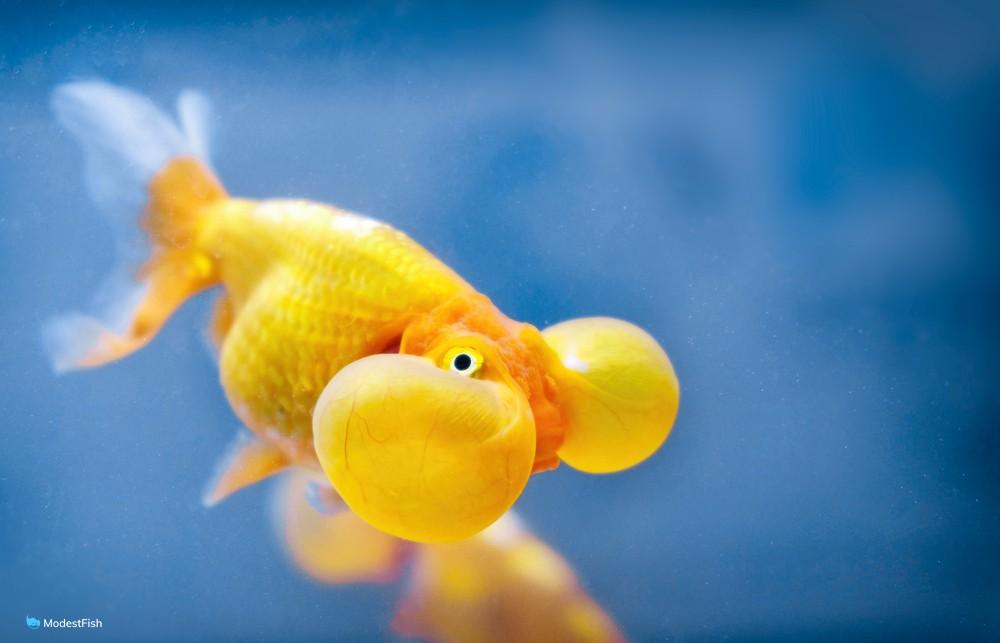 close up of bubble eye goldfish