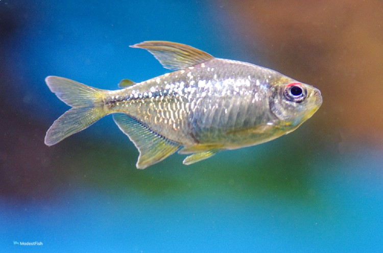 Diamond tetra (M. pittieri) swimming in aquarium
