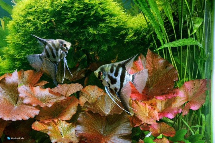 Dwarf aquarium lily in planted angel fish tank