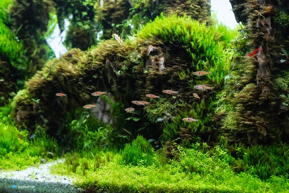 Dwarf baby tears used as carpeting plant in aquascape