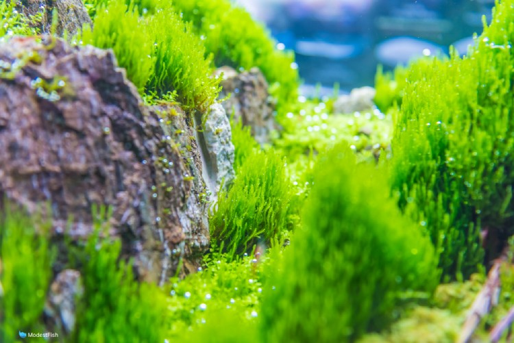 Flame moss planted in aquarium on rocks