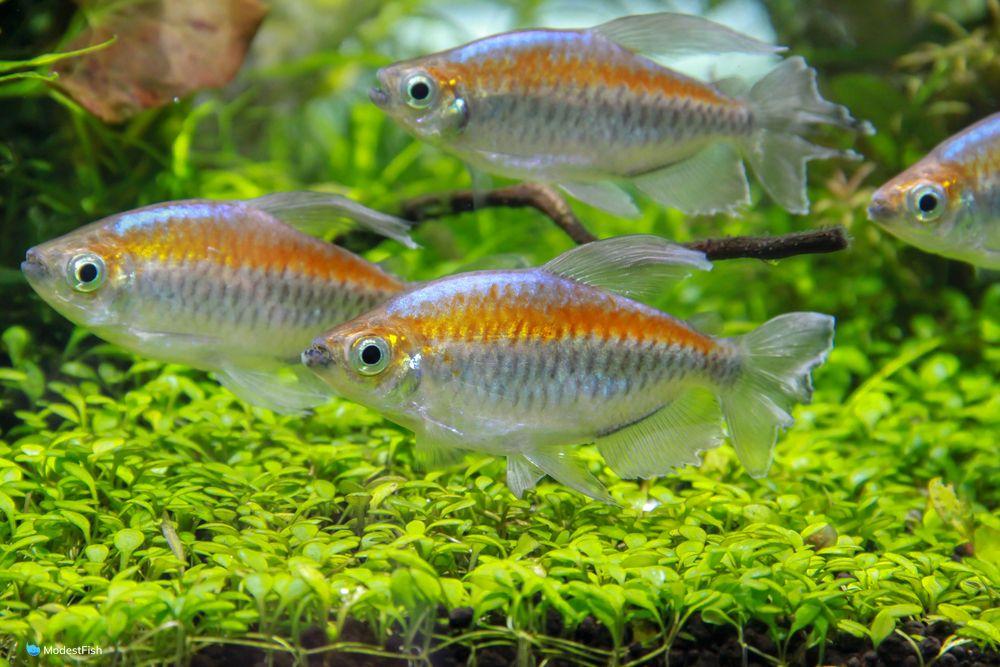 Schooling congo tetra in planted fish tank
