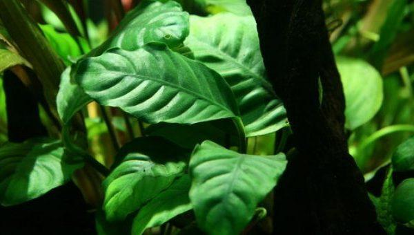 Anubias barteri v. coffee plant