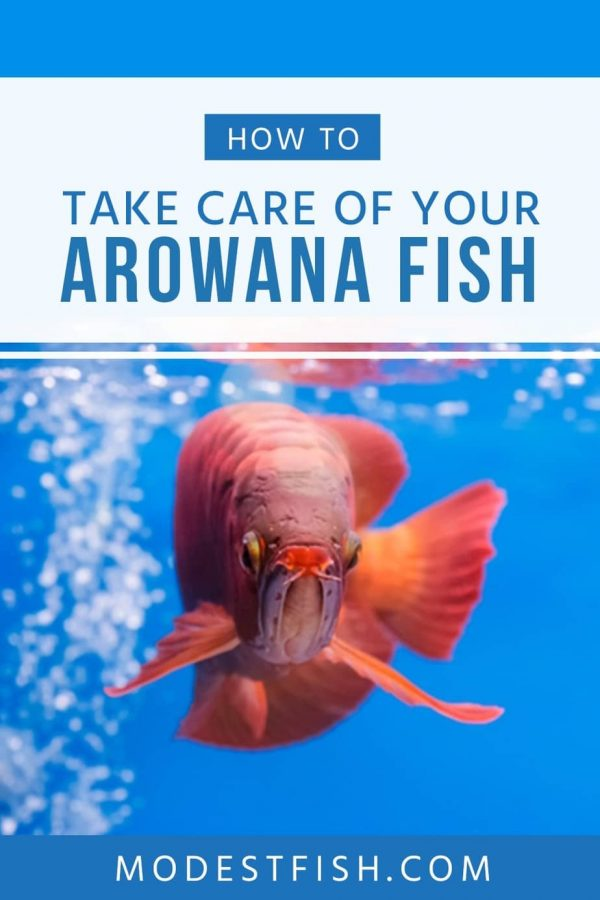 Read on this article, you'll learn how to provide an optimal care for your beautiful dragon fish including how to set up Arowana tank, diet and feeding Arowana guide and more. #modestfish #aquarium #fish