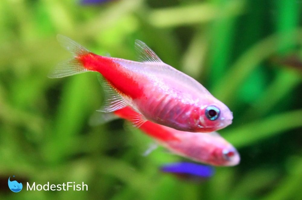 Golden neon tetra swimming
