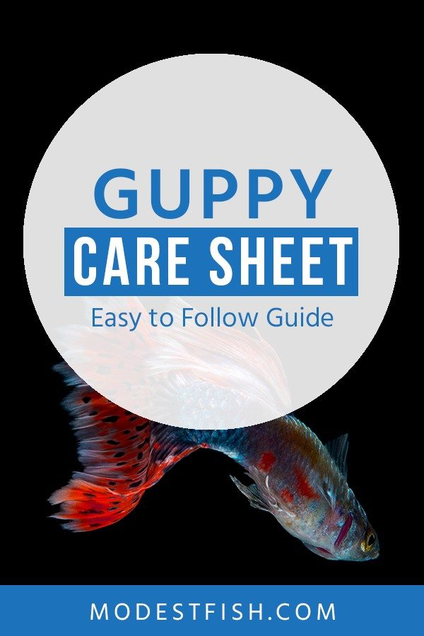 In this article, you will learn how to take care of your guppy fish. Covers topics such as breeding, diet and feeding techniques and more. So you can create a happy and healthy environment for your cute friend. #guppycare #ModestFish