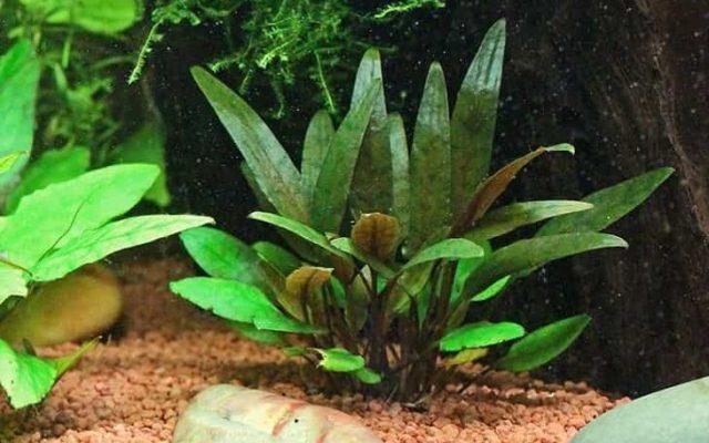 Micro Cryptocoryne petchii in aquarium