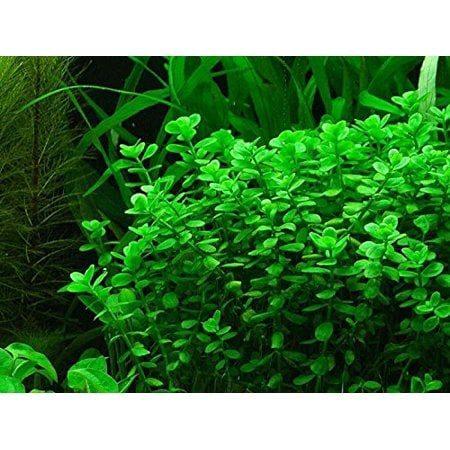 Moneywort aquatic plant