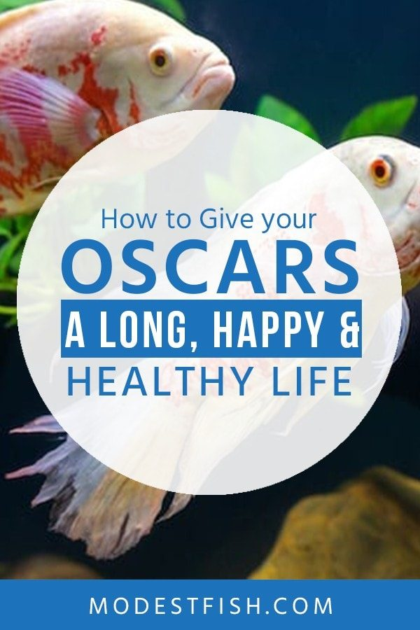 In this guide, you'll learn everything you need to provide quality care for this intriguing freshwater tropical fish and covers topics such as food and feeding, Oscar fish facts and more. #oscarfish #modestfish