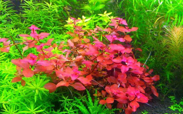 Red Ludwigia aquarium plant