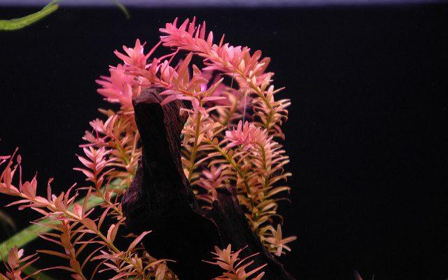 Rotala-Rotundifolia