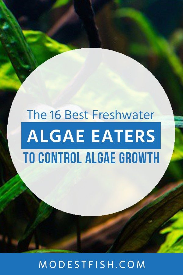 In this article, you're going to learn how to choose the best algae eater for your fish tank, as well as discovering the best algae eaters for your tank including shrimp, snail and fish for your tank. #freshwateraquarium #modestfish
