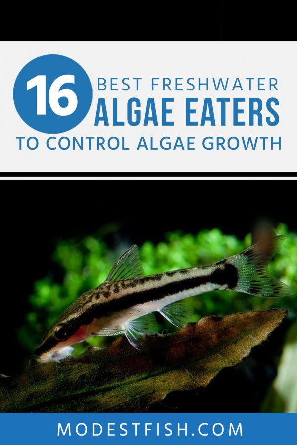 In this article, you're going to learn how to choose the best algae eater to help control the growth of algae in your freshwater aquarium, as well as discover what are the best algae eaters such as shrimp, snails and fish. #freshwateraquarium #modestfish