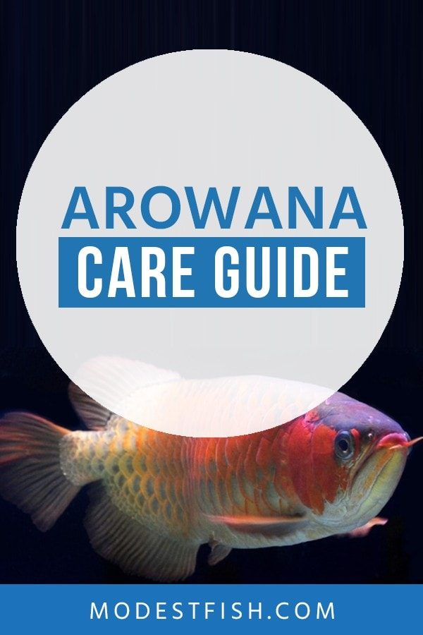 In this article, you'll learn exactly how to provide optimal care to seeing them flourish and this guide contains an extensive amount of information including setting up Arowana aquarium, diet and feeding Arowanas and more. #Arowanafishcare #modestfish