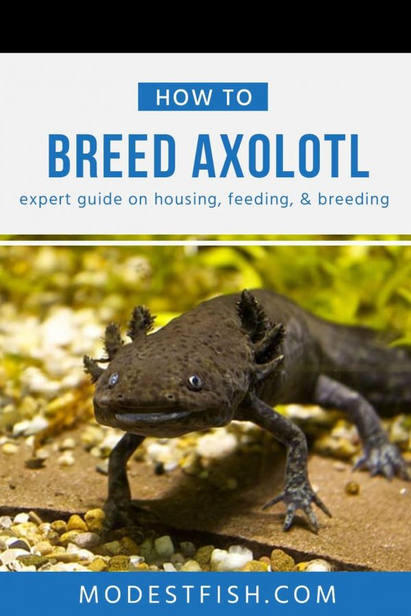 In this article, We bring you the best care sheet to provide Axolotl with an outstanding, but easy-to-maintain environment so you can keep your little animal smiling. #modestfish #axolotlcare #fishcare