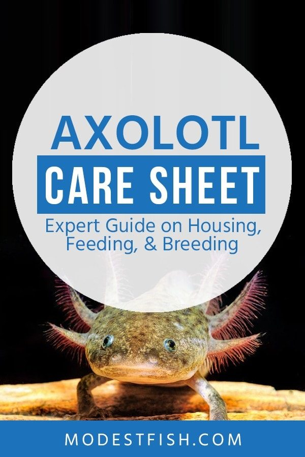 In this article, we provide the best Axolotl care sheet. Everything you need to know including, feeding and breeding technique and Axolotl disease and more. So you can keep this awesome pet to be happy. #axolotlcare #ModestFish