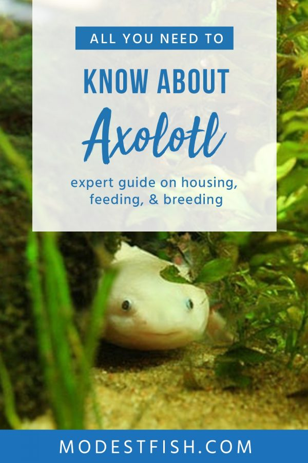 Suuuuper cute, axolotl's need specific care and attention in order for them to live long, healthy, and happy lives. You can use this guide to learn how to care for them the right way. #modestfish #fishtank #axolotl #fish