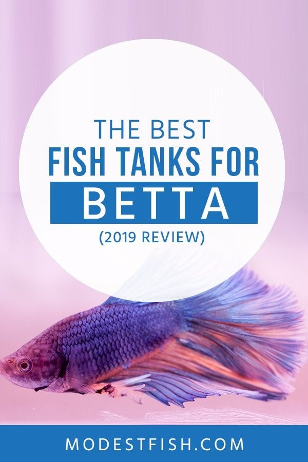 Looking for the best fish tank for your betta? Here's all everything you need to know when choosing aquarium that's able to support their needs - Learn some fish tank care tips that will keep your betta happy and healthy. #bettacare #ModestFish