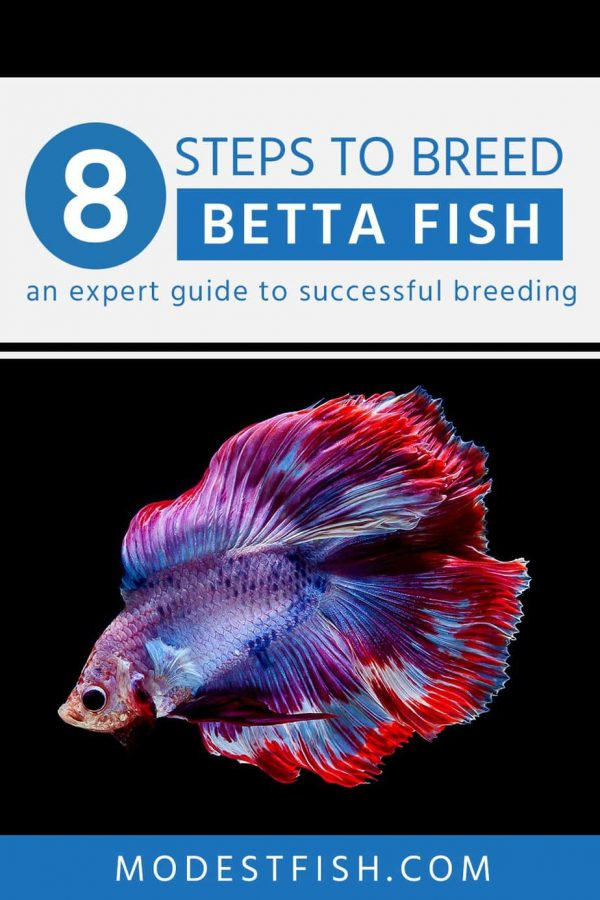 This is a detailed how to breed betta fish. Covering a tips from expert guide, you can use to successfully breed desirable and healthy Betta fish–without putting your fish's health at risk. #betta #modestfish