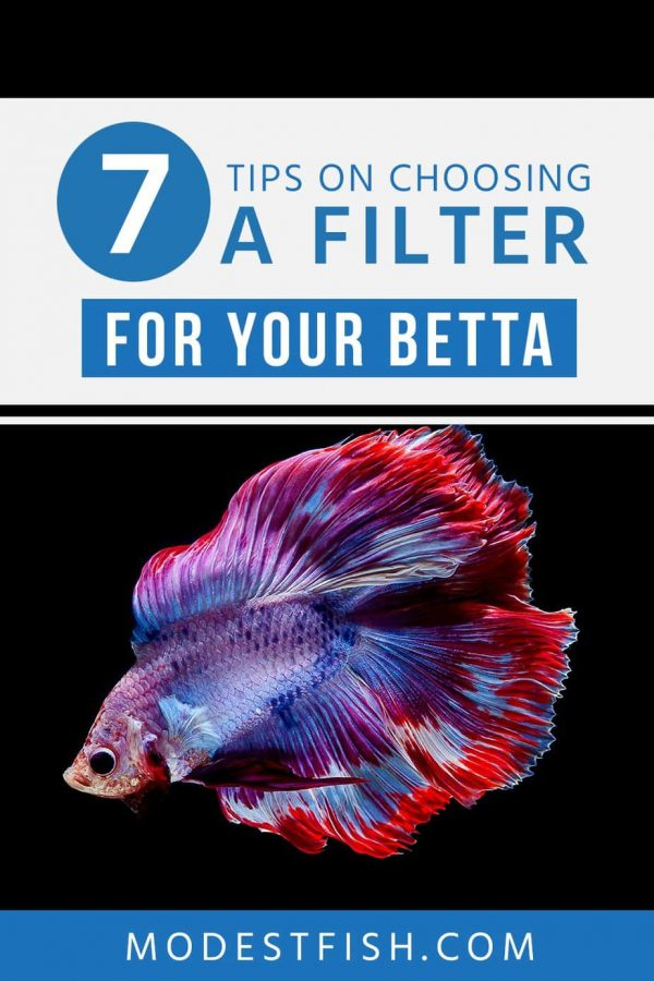Betta fish need filter to keep clean water to live well in their tank. In this article, we'll share with you 7 tips how to select the filter that's best for your setup. #modestfish #betta #fishtank