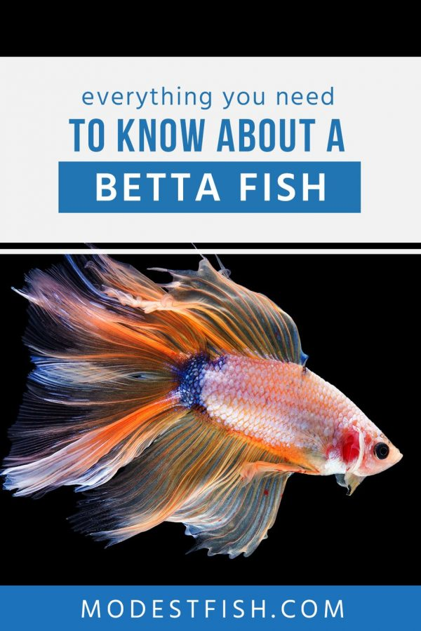 Read on this article, everything you need to know about a Betta so you can provide them an optimal environment in order to help them thrive and entertain. #modestfish #betta #fishcare