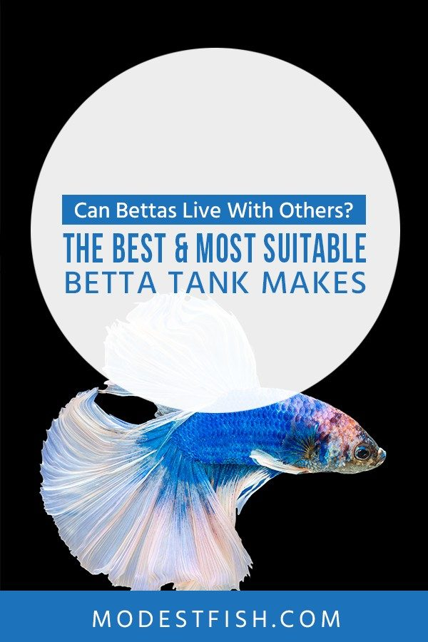 Can Betta fish live with others? This article, you're going to learn the guidelines to choosing the best buddy for your Betta. #bettacaretips #bettatank #bettafishtankfilter #bettacarearticle #ModestFish
