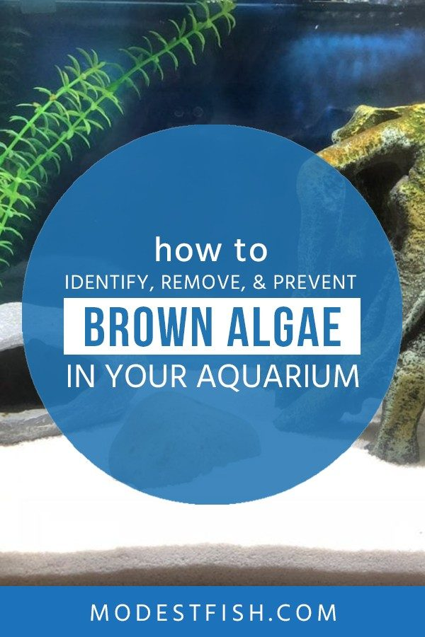 Looking for a way to get rid of brown algae? In this article, you'll learn how to identify brown algae, the root causes, and how to remove and prevent it from coming back. #modestfish #brownalgae #algae