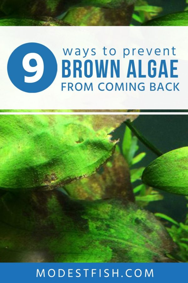 After you get rid of brown algae from your aquarium but how do you make sure it doesn't come back to bother you again? In this guide, you'll learn the best ways to prevent brown algae come back in your aquarium. #modestfish #fishtank #algaequarium