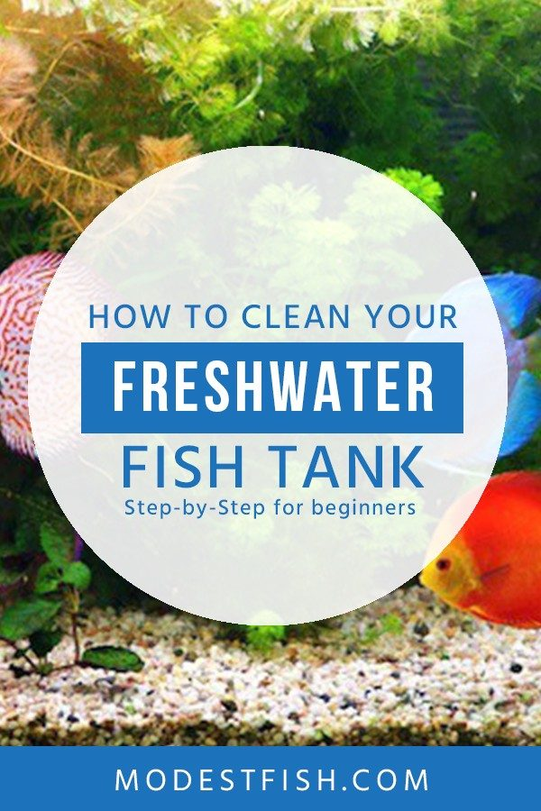 Keeping your fish tank water clean is important for the health of your fish. In this article, we share simple freshwater cleaning tips for beginners. It's much easier than you think. If you use this step-by-step guide. #fishtankcleaning #ModestFish