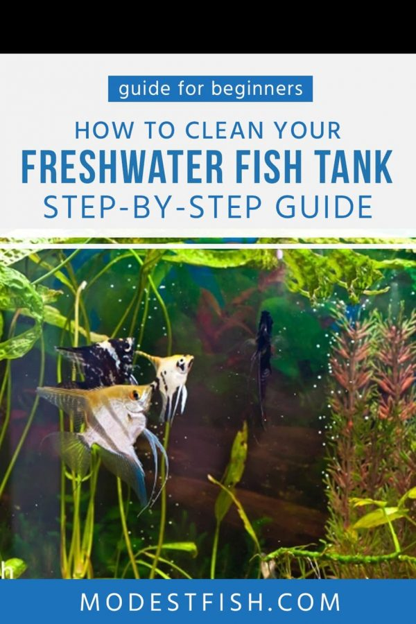 This is a detailed guide that will cover the step-by-step how to clean your freshwater fish tank for beginners as well as learn some tips that easy to follow. So you can keep your beautiful aquarium clean and healthy environment for your fish #fishtankcleaning #modestfish