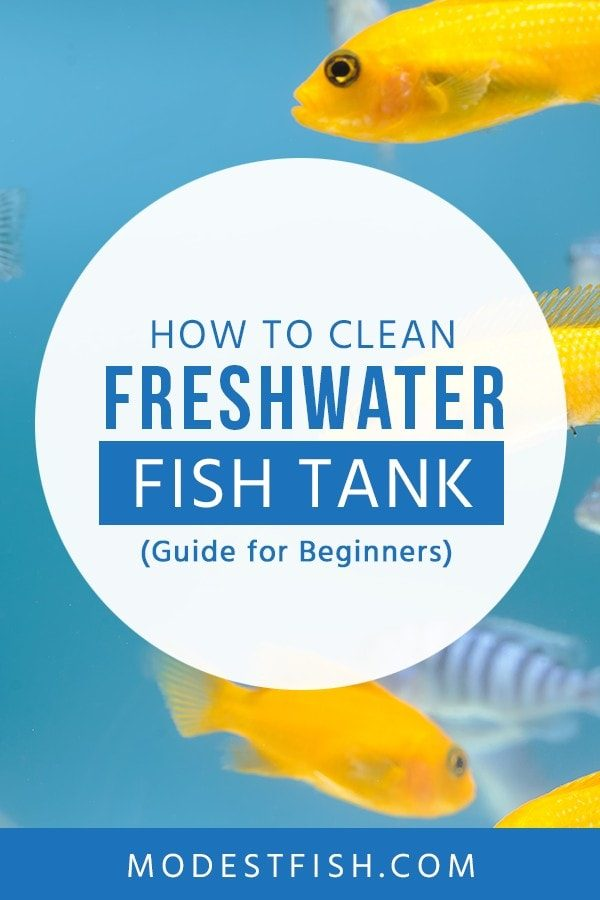 If you want to keep happy and healthy fish. ModestFish will teach you how to clean freshwater fish tank - Learn a simple tips step-by-step for beginners. #fishtankcleaning #ModestFish