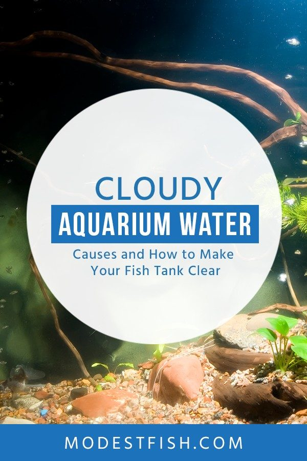 In this guide, we'll go over the different kinds of cloudy aquarium water, what causes them, how you can fix it and keep your tank water crystal clear #modestfish #aquarium #fishtank