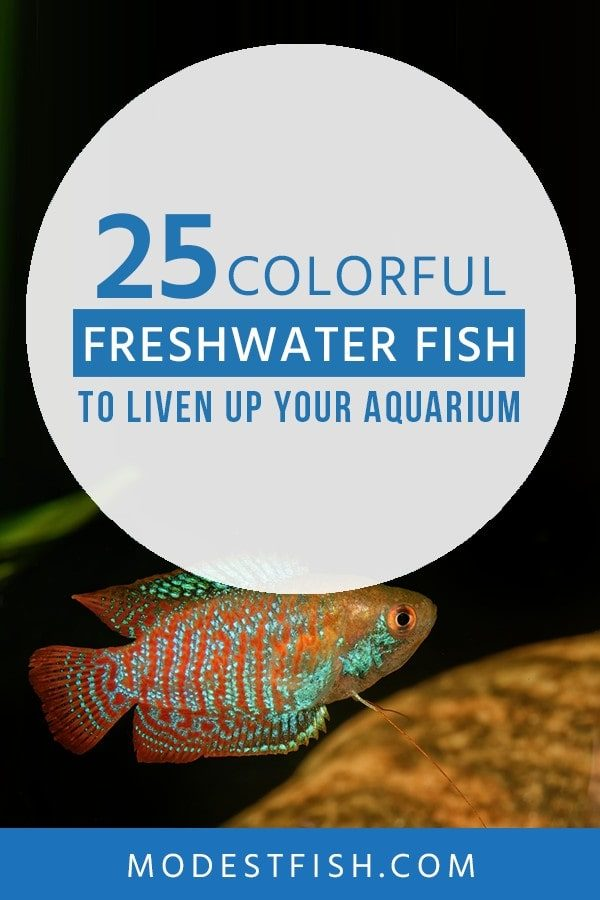 In this guide, We'll take you through 25 freshwater fish that'll brighten any aquarium and share some key care tips for each one. #freshwater #modestfish