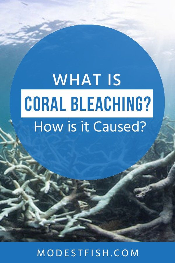 In this article, We'll explain what exactly is coral bleaching, how they become bleached, and the very real impact it has on all aspects of life. #coralbleaching #modestfish