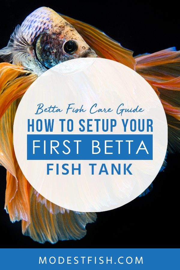 7. Betta Fish Care Guide: How to Setup Your First Betta Fish Tank (Infographic) This is a detailed betta fish care guide from ModestFish that you will get through a simple 3-step guide to setting up the ideal environment for your Betta. Also, we provide a betta fish care infographic which help you understand more. #bettacare #bettafishcare #bettaguide #ModestFish
