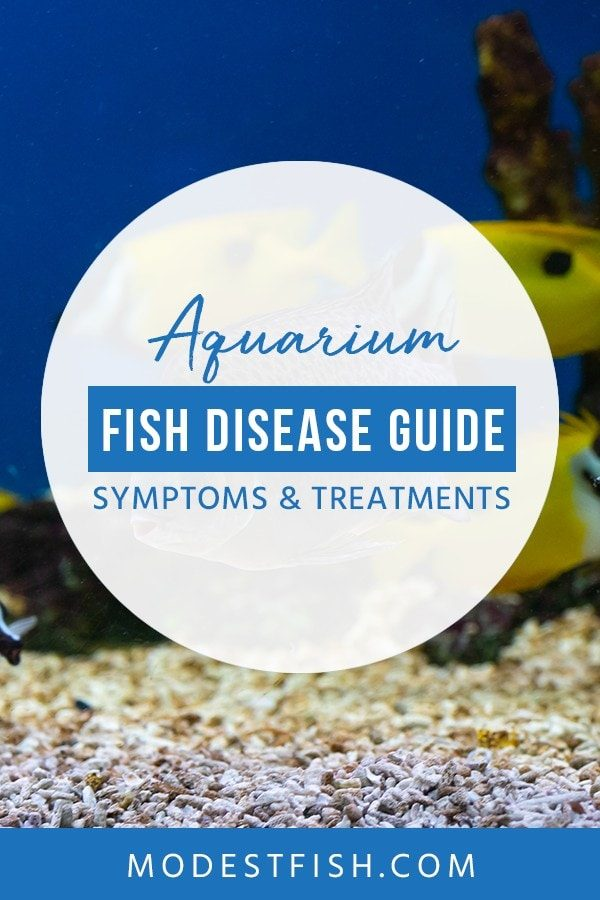 It hurts when you see your fish get sick. ModestFish will help you to solve this problem. We'll discuss different types of common fish diseases, their symptoms, causes, and ways to treat your friends. #fishtips #fishcare #fishtank #ModestFish