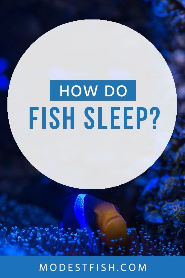 Do fish sleep? And how do they sleep? In this article, you'll discover the mechanics of fish sleep in relation to human sleep that will be surprised you. #modestfish #fishcare #aquarium