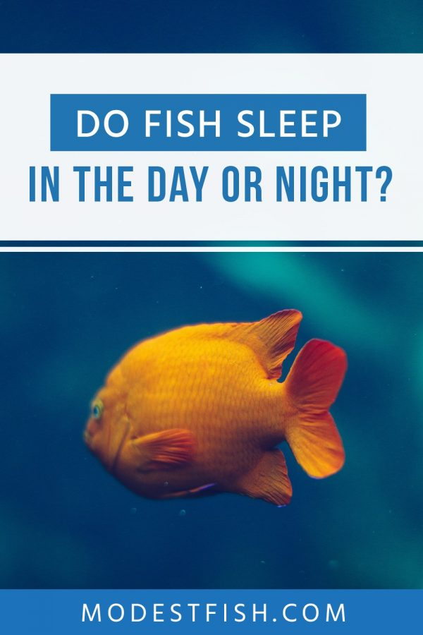 In this guide, we'll you'll learn all about fish sleep and if they keep their eyes open. It's a fascinating topic, because it's not as simple as human sleep. #modestfish #fish