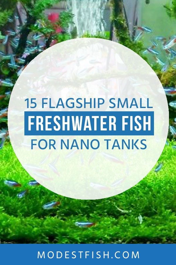 In this guide, I'll share with you my flagship choices for the best small freshwater fish for nano tanks so you can set up a stunning aquarum at home #modestfish #aqaurium #fish #freshwater