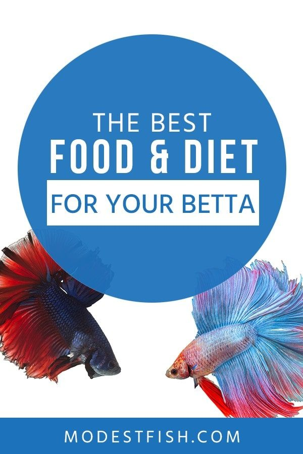 In this article, you will learn some tips when choosing betta fish food - Covers topics such as what type of diet a betta needs, how to make your own betta food and more. #bettacaretips #ModestFish