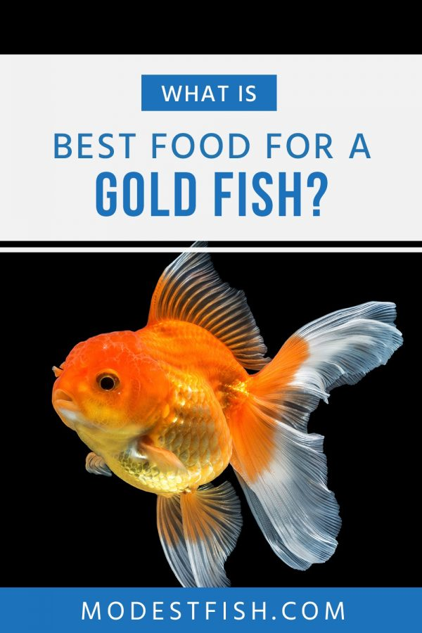 Everything you need to know about Goldfish food, and the exact feeding formula tips you should use to ensure your buddy's around for years. #modestfish #goldfishcare #fishcare