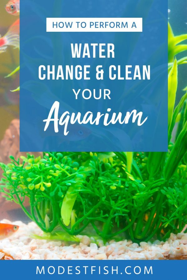 Follow this simple, easy to follow step-by-step guide to learn how to perform a water change and clean your freshwater aquarium. #modestfish #aquarium #freshwater